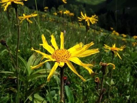 Árnica mejores plantas medicinales