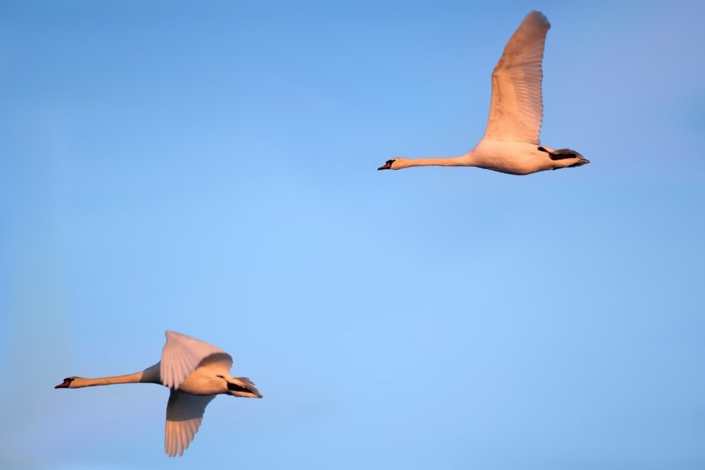 Aves miratorias