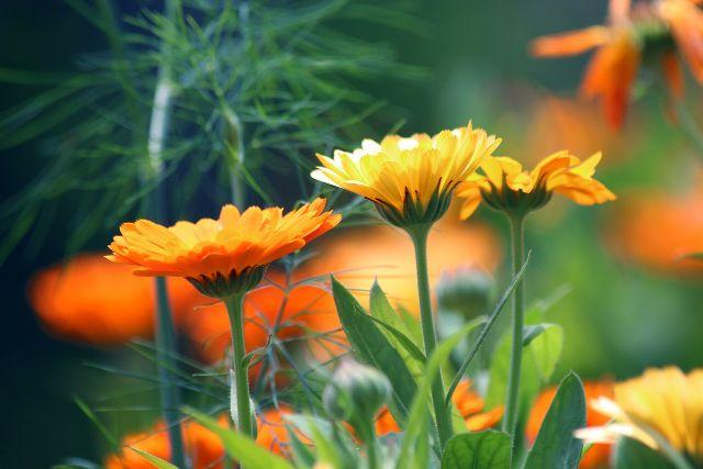 Caléndula mejores plantas medicinales