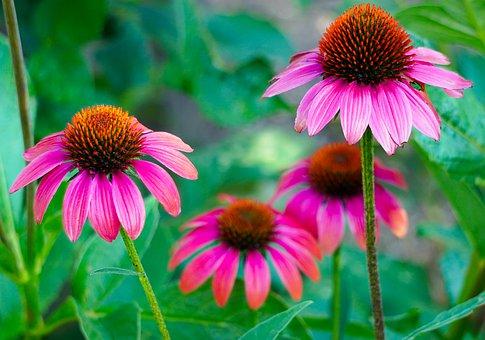 Equinacea mejores plantas medicinales