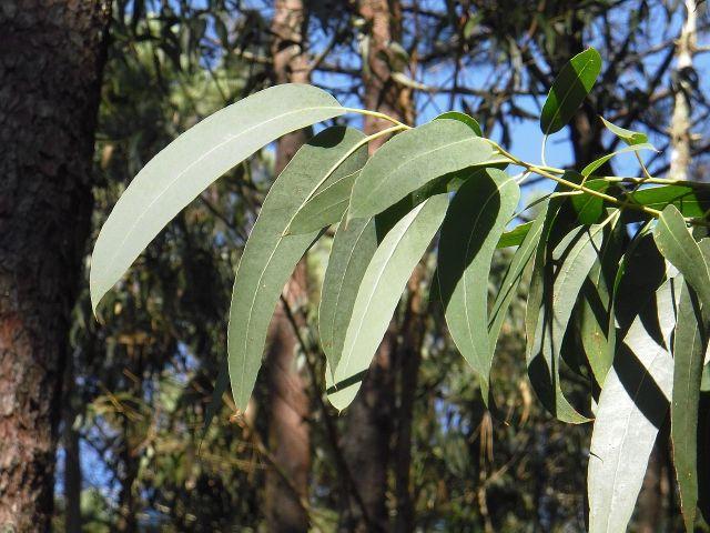 Eucalipto mejores plantas medicinales