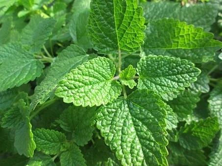 Melisa mejores plantas medicinales