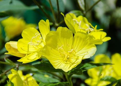 Onagra mejores plantas medicinales