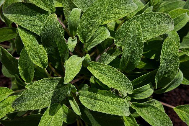 Salvia mejores plantas medicinales