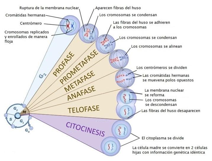 la fase de mitosis