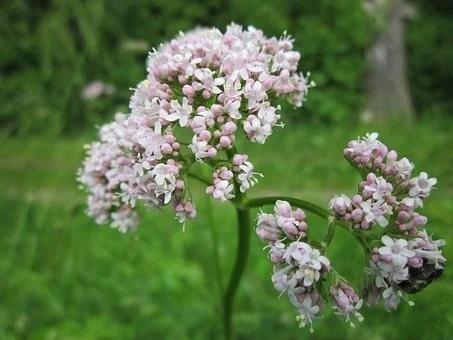 valeriana mejores plantas medicinales