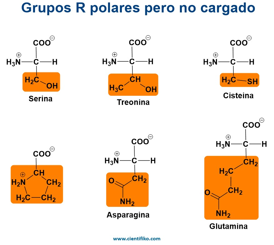 aminoácido polares no cargados