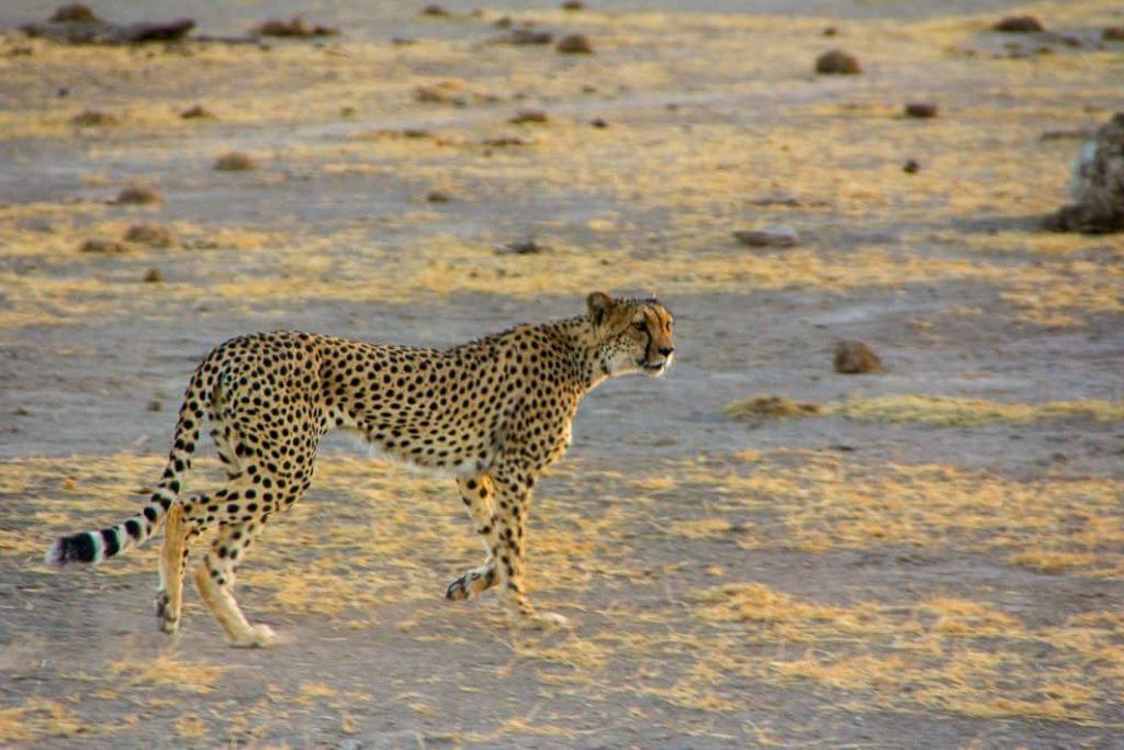Felinos Leopardo