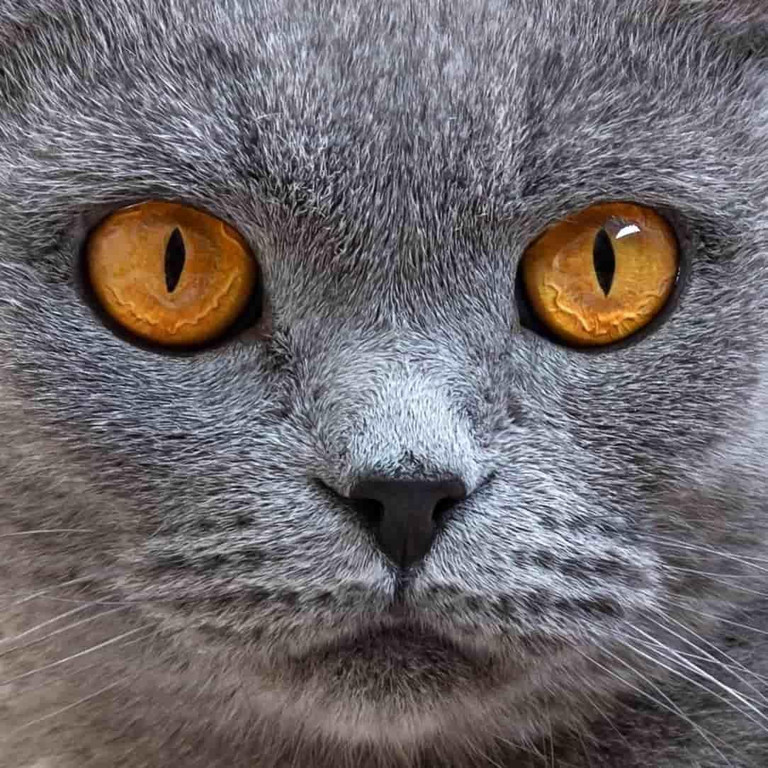 Felinos gato