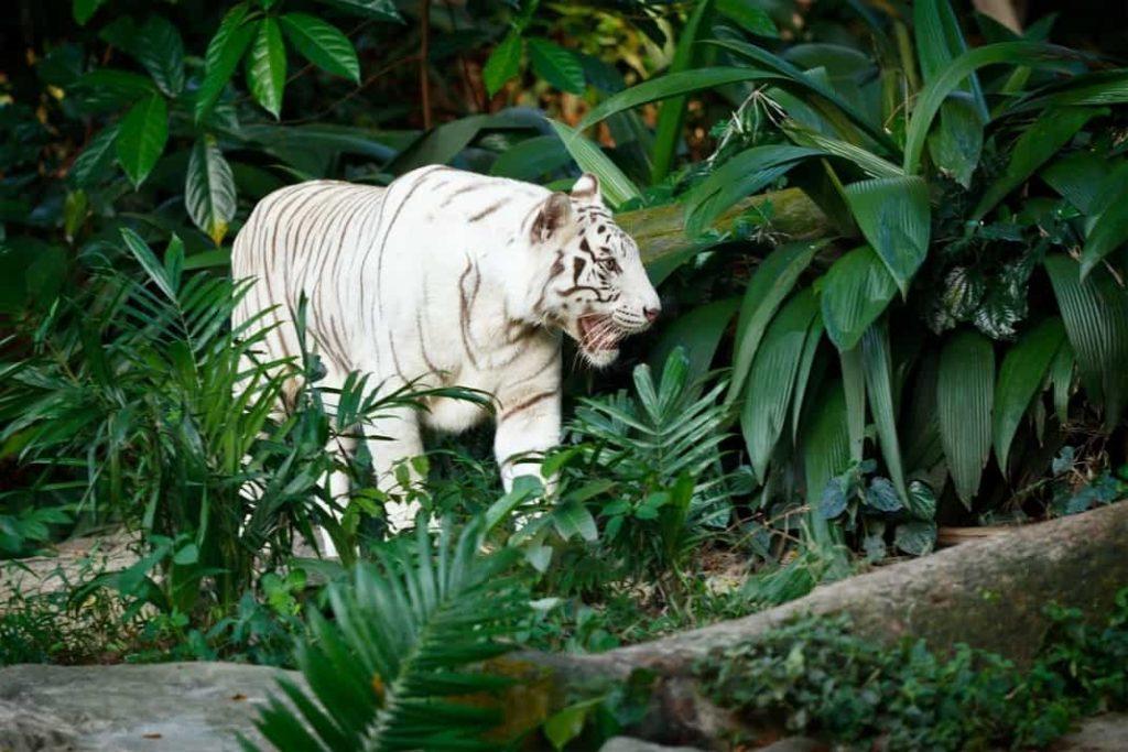 Felinos tigre blanco