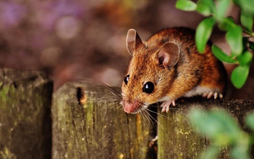 Todo acerca de los roedores