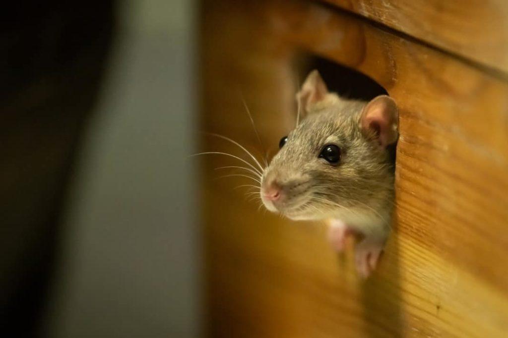 roedores cientifiko