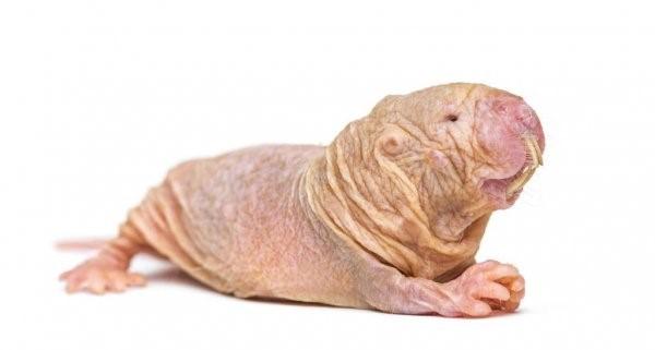 roedores ratas topo desnudas