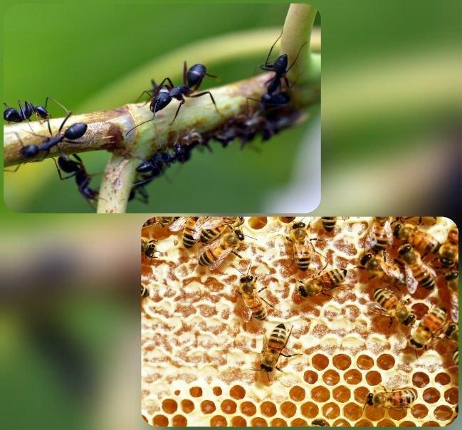 tofalaxis hormigas abejas