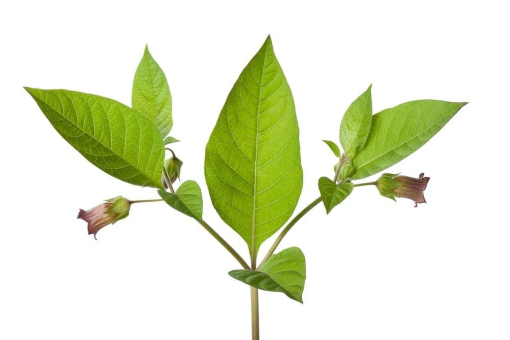 Atropa belladonna Flores más peligrosas
