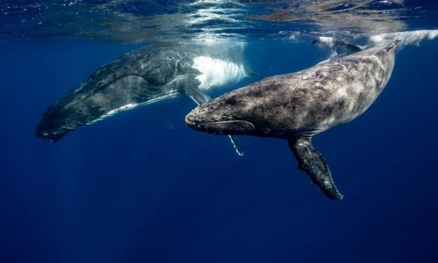 Reyes abismales: los cachalotes y su intrigante vida