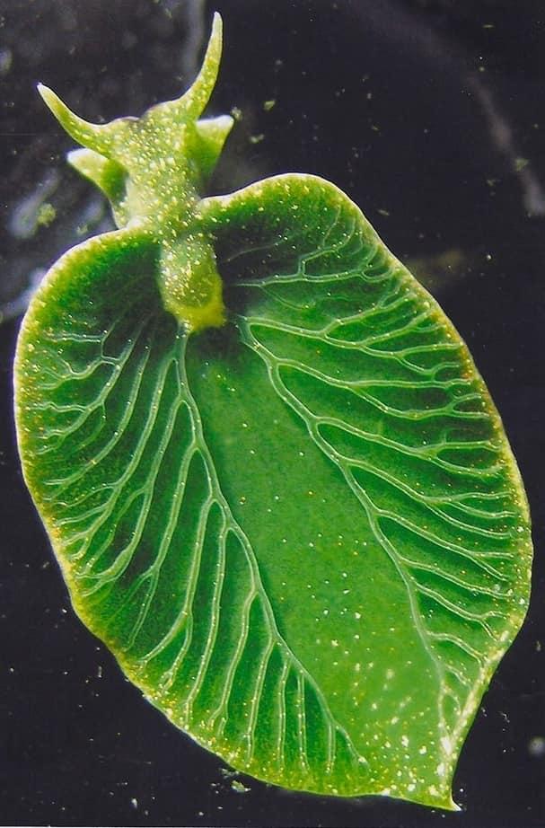 babosa animal que pueda realizar la fotosíntesis
