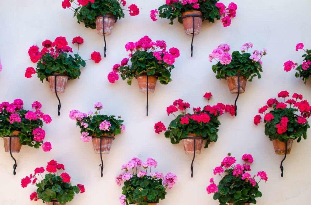Geranio flores que florecen todo el año