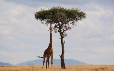La jirafa, el animal terrestre más alto del mundo