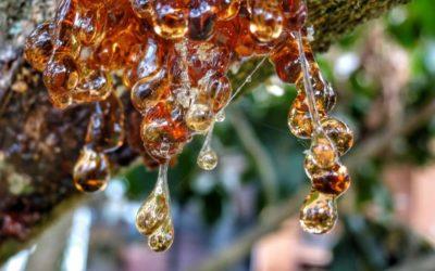 De la goma de masticar a la preservación del ADN: Plantas que Producen Resina