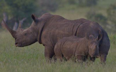 Los rinocerontes, gigantes a punto de desaparecer