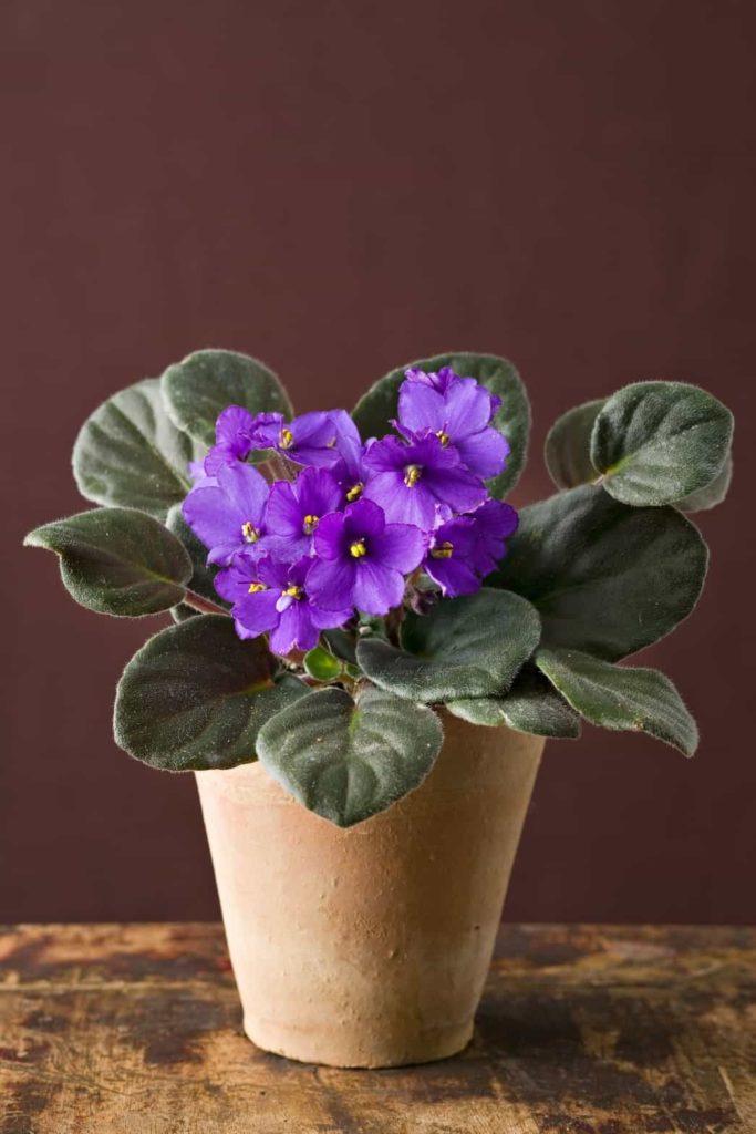 Saintpaulia ionantha flores que florecen todo el año