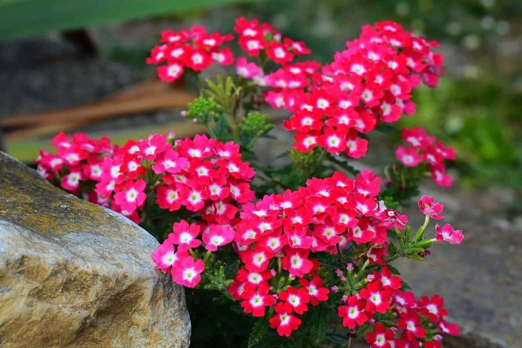 Verbena flores que florecen todo el año