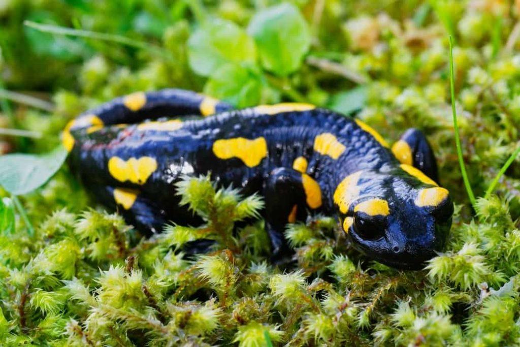 salamandra fotosíntesis por los animales 1