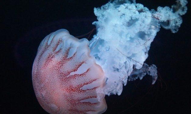 Las medusas: Especies acuáticas fascinantes